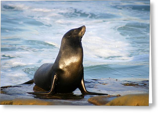 Sealions Greeting Cards - Sealion Greeting Card by Anthony Jones