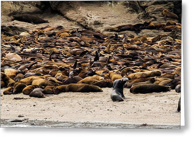 Seals And Sea Lions Greeting Card