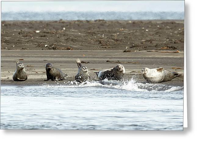 Seals Of Hvitserkur Greeting Card by Betsy Knapp
