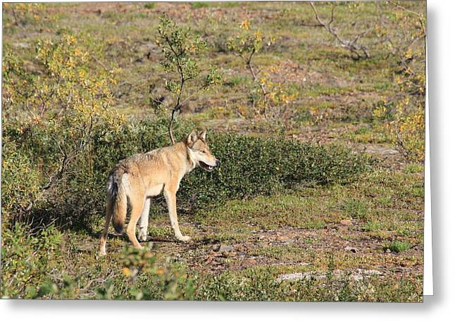 Searching Wolf Greeting Card