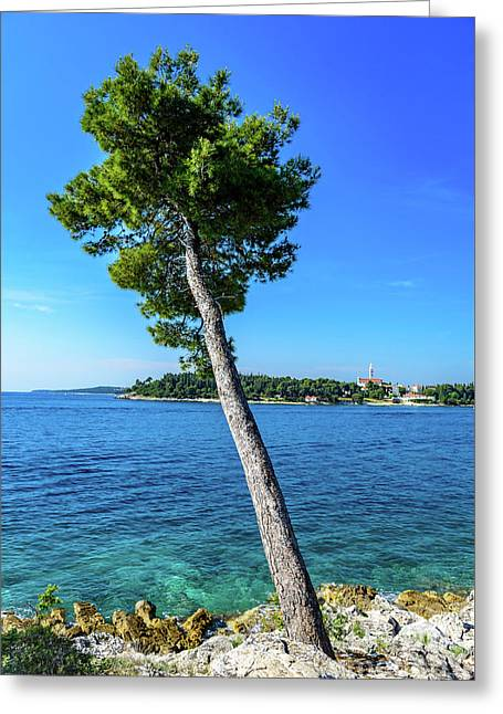 Seaside Leaning Tree In Rovinj, Croatia Greeting Card