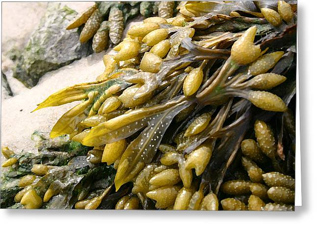 Seaweed Greeting Card by Mary Haber
