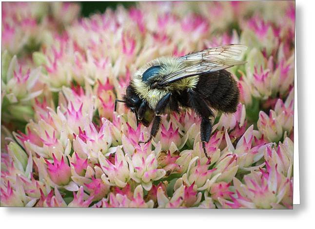 Greeting Card featuring the photograph Sedum Bumbler by Bill Pevlor