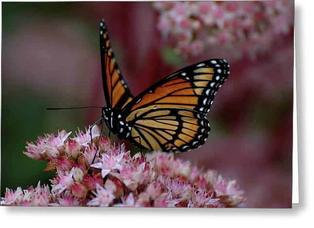 Sedum Butterfly Greeting Card