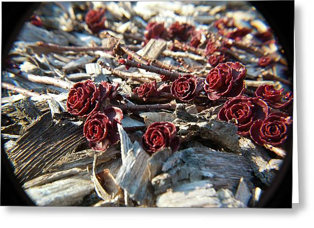 Sedum Rossettes Greeting The Sun Greeting Card