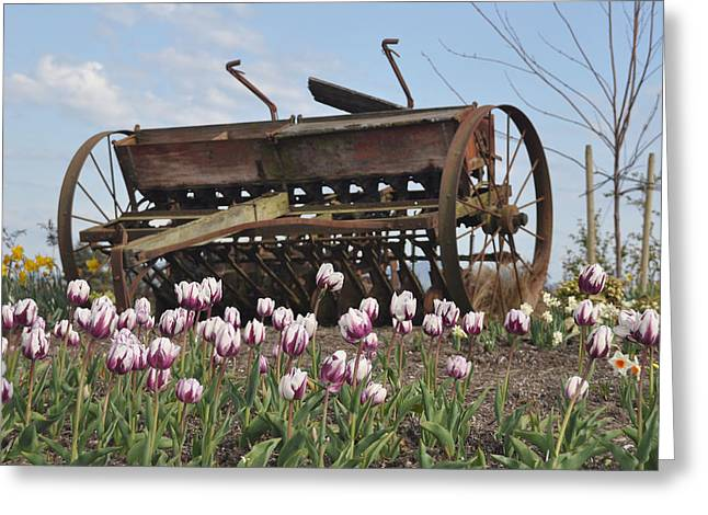Seed Drill Tulips Greeting Card by Brent Easley
