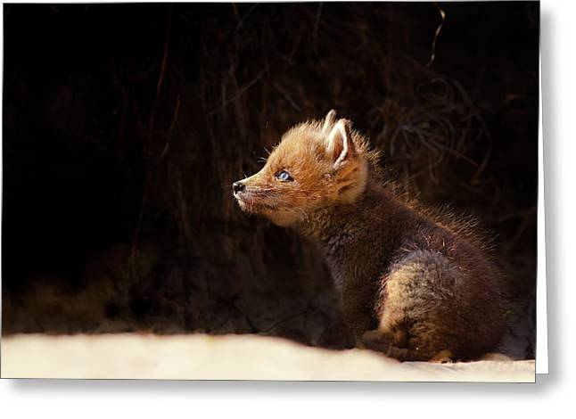 Seeing The Light - Red Fox Baby Looking Up Tot The Sun Greeting Card