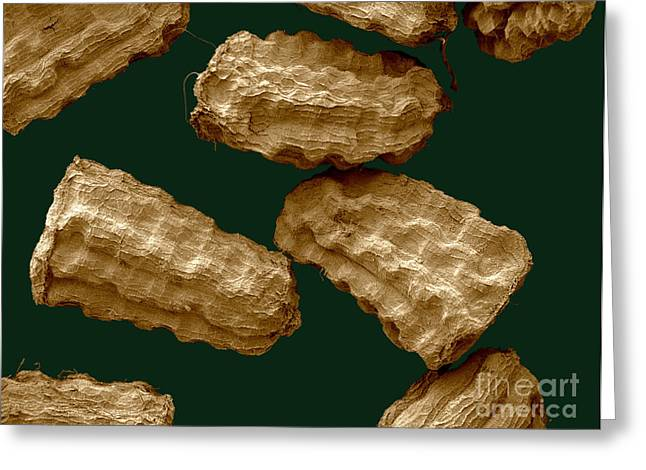 Sem Of Common Mullein Seeds Greeting Card by Scimat