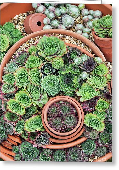 Sempervivum Pattern Greeting Card