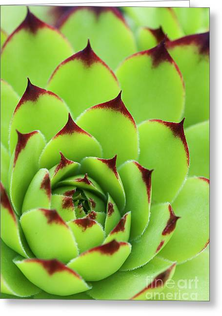 Sempervivum Tectorum Royanum Greeting Card