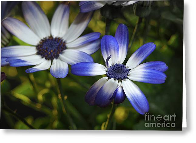 Senetti On A Warm Spring Day Greeting Card by Dorothy Lee
