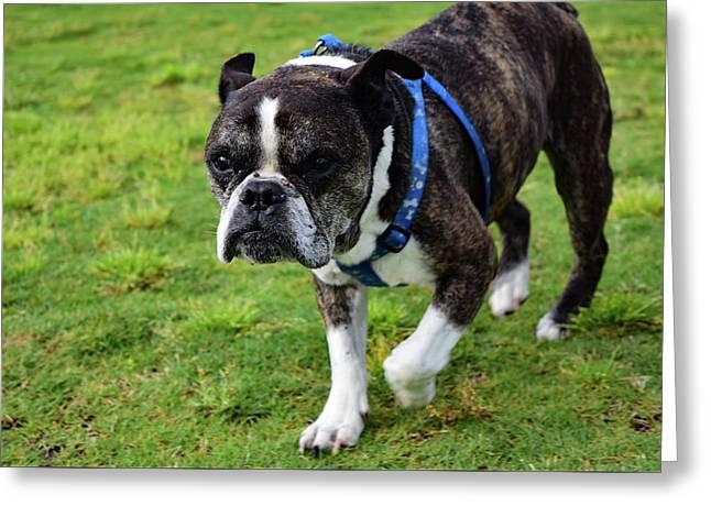 Leroy The Senior Bulldog Greeting Card