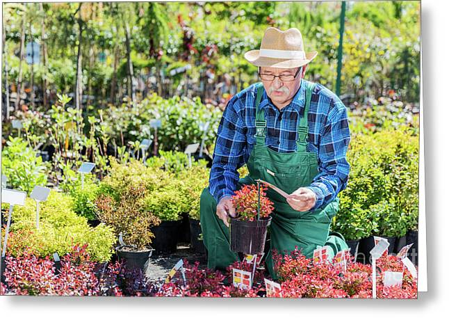 Senior Gardener Selecting A Plant In A Nursery. Greeting Card