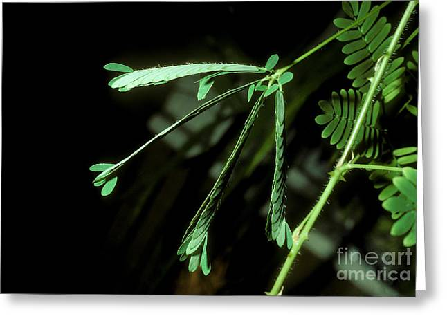 Sensitive Mimosa After Stimulation Greeting Card by John Kaprielian