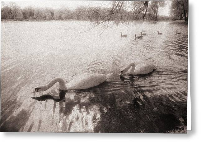 Greeting Card featuring the photograph Sepia Swans by Doug Gibbons