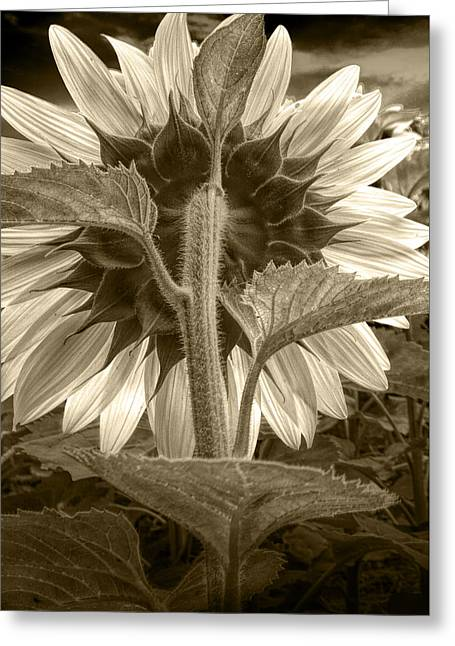 Sepia Tone Of The Back Of A Sunflower Greeting Card
