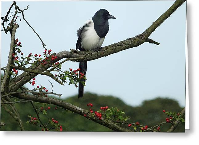 September Magpie Greeting Card by Philip Openshaw