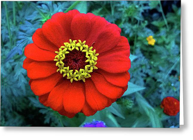 September Red Beauty Greeting Card