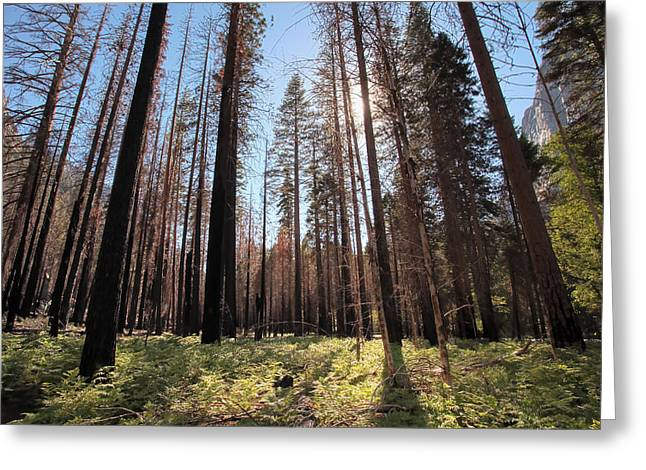 Sequoia Forest At Sunrise Greeting Card by Rick Pham