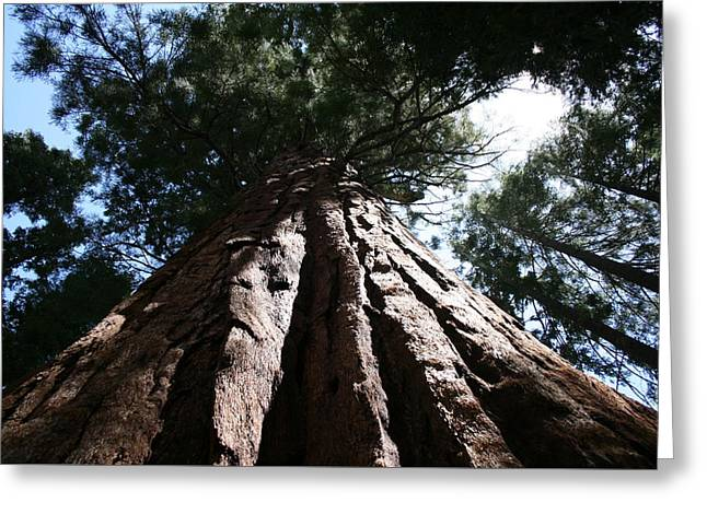 Sequoia Tree Greeting Card