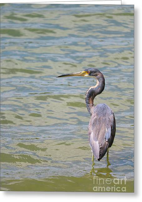 Serene Tricolored Heron Greeting Card