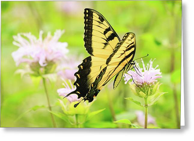 Series Of Yellow Swallowtail #4 Of 6 Greeting Card