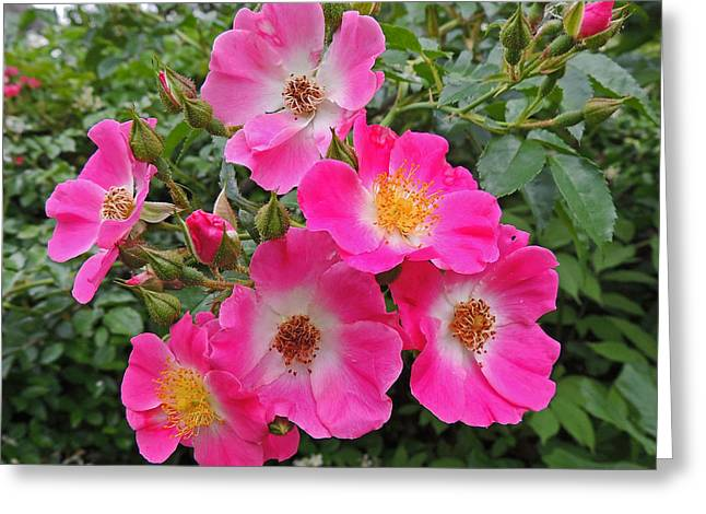 Seven Sisters Rose Greeting Card by Marian Bell