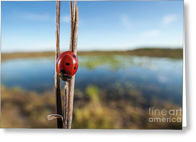 Seven-spotted Lady Beetle IIi Greeting Card by Clarence Holmes