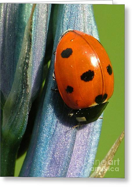 Seven Spotted Lady Beetle Greeting Card
