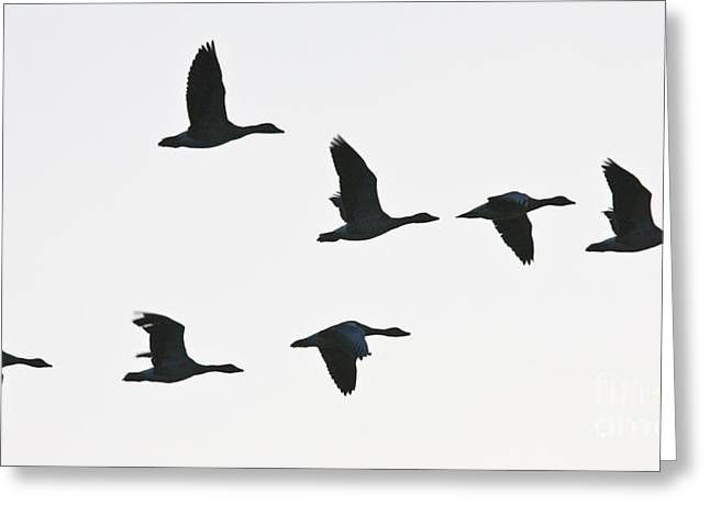 Sevenfold Geese Greeting Card