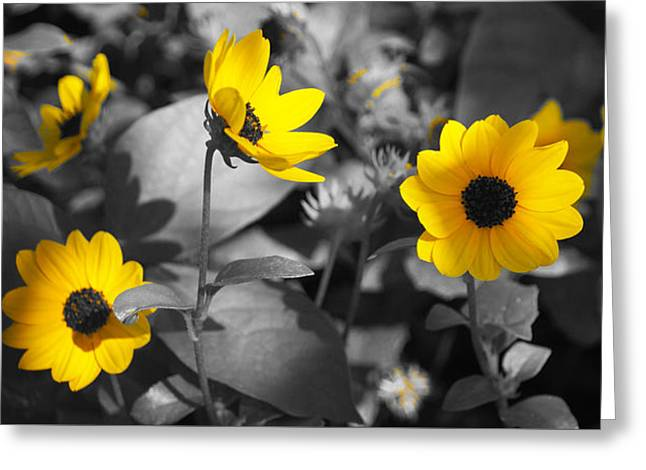 Shaded Daisies Greeting Card