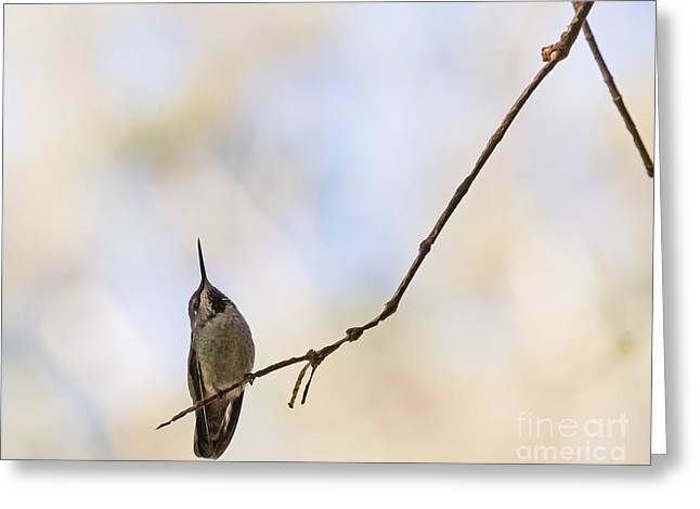 Shadow Hummer Greeting Card by Kate Brown