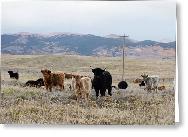Greeting Card featuring the photograph Shaggy-coated Cattle Near Jefferson by Carol M Highsmith