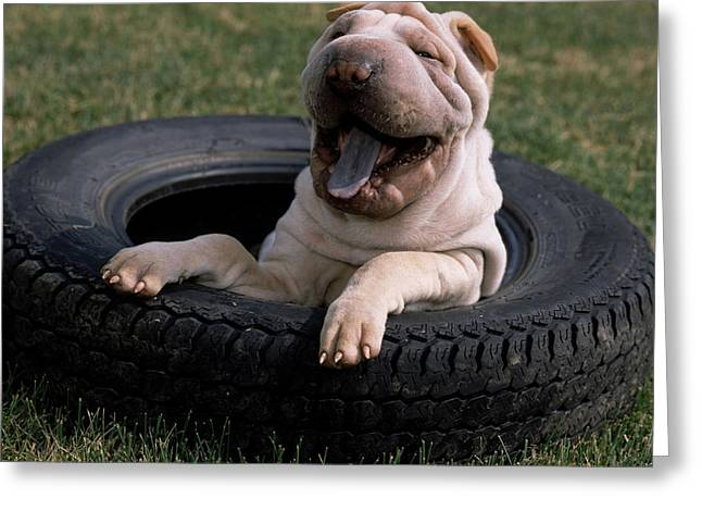 Shar Pei Playing In A Spare Tire Greeting Card