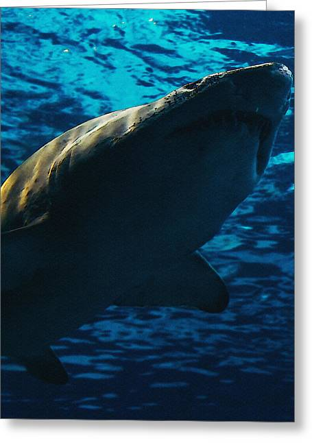 Shark Above Greeting Card by Pati Photography