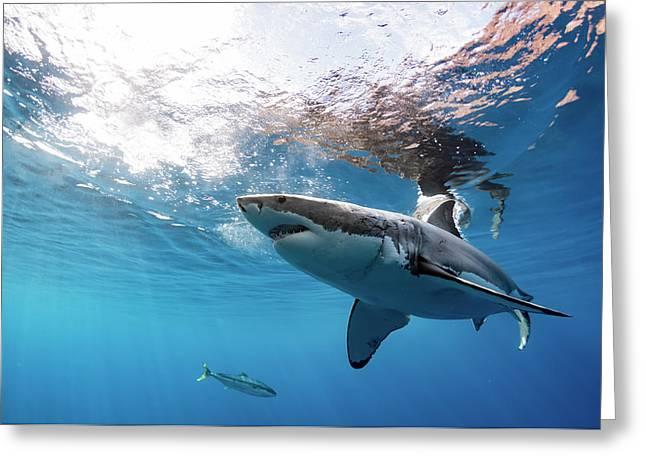 Shark Rays Greeting Card