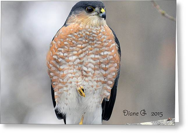 Sharp-shinned Hawk Greeting Card
