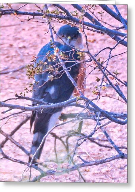 Sharp-shinned Hawk Hunting In The Desert 2 Greeting Card