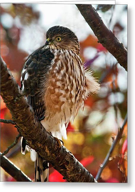 Sharp-shinned Hawk In Autumn Greeting Card by Lara Ellis