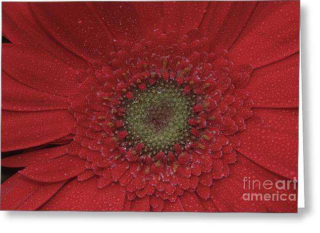 Shasta Daisy Macro Greeting Card