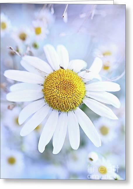 Greeting Card featuring the photograph Shasta Daisy by Stephanie Frey