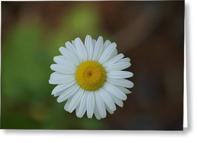 Greeting Card featuring the photograph She Loves Me She Loves Me Not by Ron Read