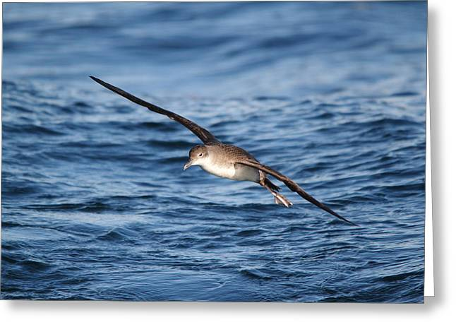 Greeting Card featuring the photograph Shearwater by Richard Patmore