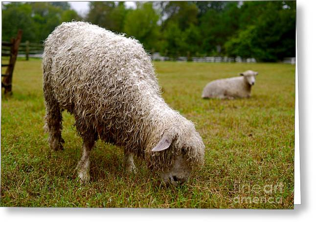 Sheep Begin A New Day Greeting Card