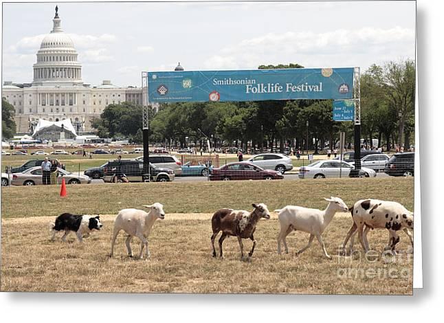 Sheep-herding In Washington Dc Greeting Card