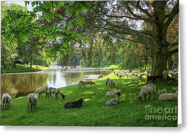 Sheep In A Park  Greeting Card by Patricia Hofmeester