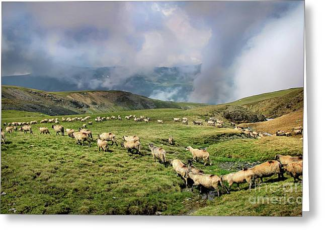 Sheep In Carphatian Mountains Greeting Card
