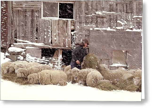 Sheep In Underhill Vermont. Greeting Card