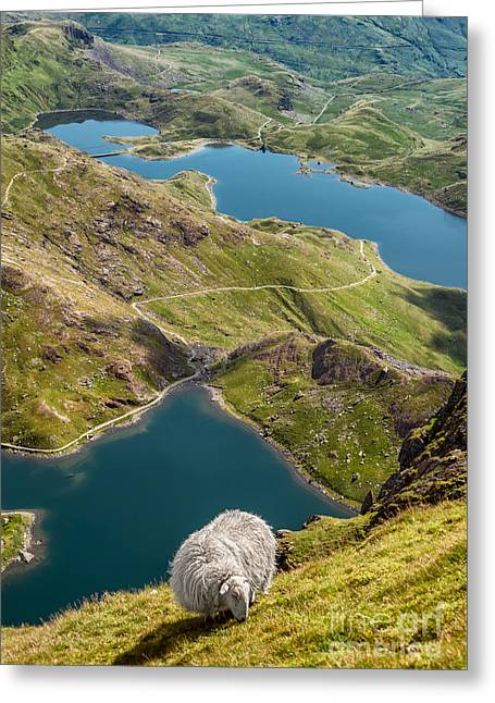 Sheep Of Snowdonia Greeting Card by Adrian Evans