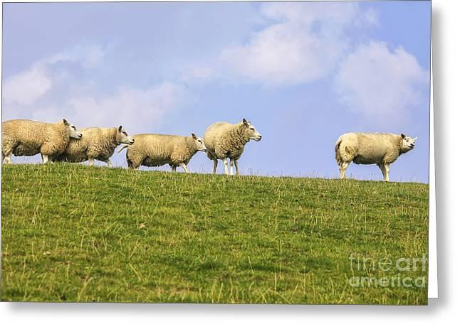 Sheep On Dyke Greeting Card by Patricia Hofmeester